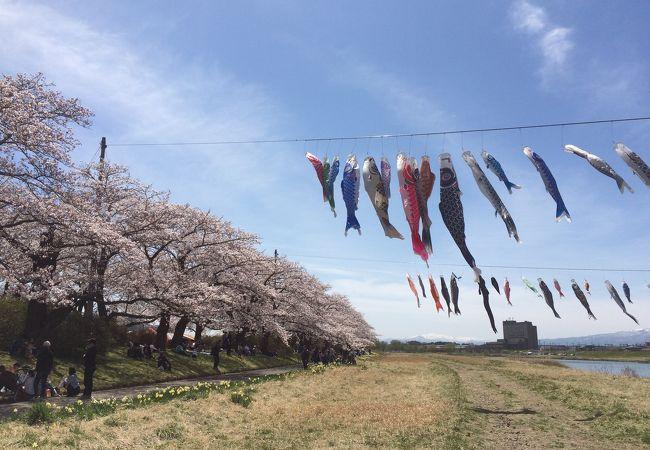 北上川沿いの桜トンネルが素晴らしい