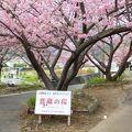 写真:音蔵の桜