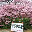 かじやの桜