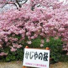 一杯に花を咲かせる見事な桜