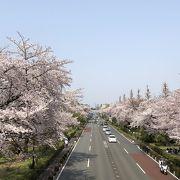 美しい桜並木の景観