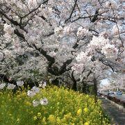 ここの桜並木はいつ見ても素晴らしい