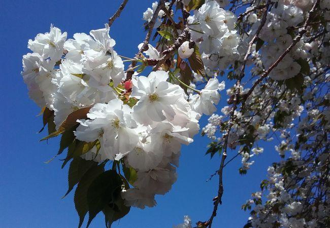 八重のしだれ桜が見事です。