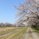 こだま千本桜まつり