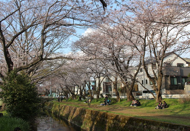 引地台の千本桜