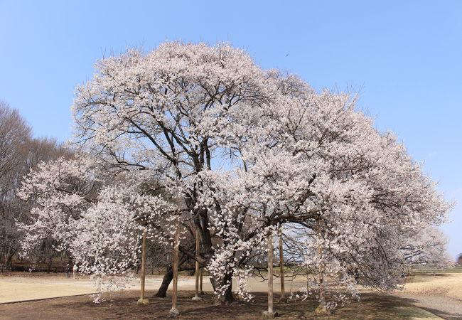薄墨桜がすばらしい