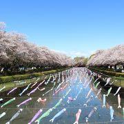 桜の時期に鶴生田川を訪問、圧巻の景色でした