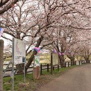 残念ながら、桜は終わりかけでした。