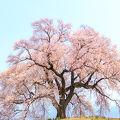 一本桜の存在感を十分に感じれます