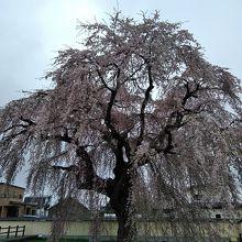 圧巻のしだれ桜