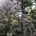 光前寺のしだれ桜ライトアップ