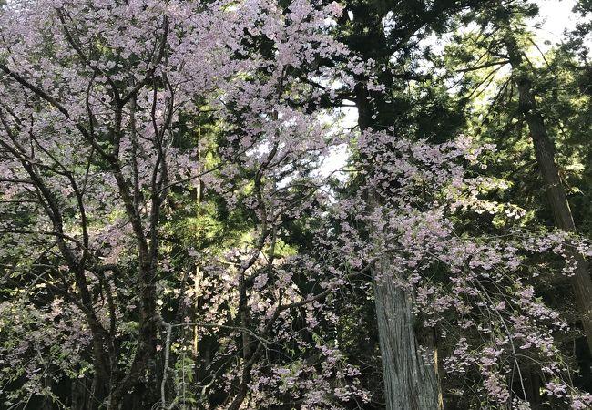 光前寺 しだれ桜