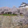 豪壮な石垣群と1,000本の桜の競演が楽しめます♪