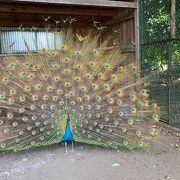 飼われている孔雀が見事です!