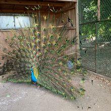 孔雀の雄が羽を広げていました!