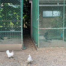 鶏は放し飼い