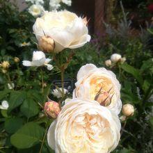 ウィンダミアという名前のバラ。