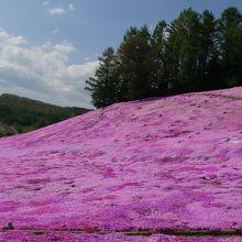 芝桜満開!いい香り!