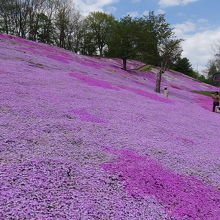山の上まで上っても芝桜は咲き誇ってます。