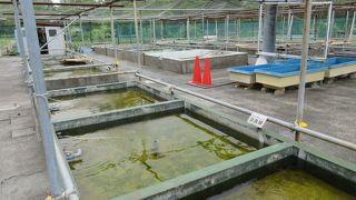 葛飾区金魚展示場