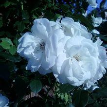 バラが美しかったです。