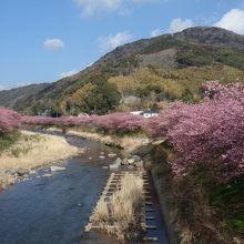 満開近い河津桜