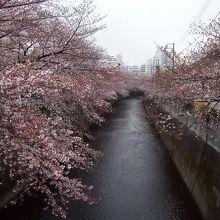 川の両岸に咲き誇るソメイヨシノは、圧巻