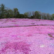 太陽の丘えんがる公園  芝桜