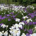 小規模だけど綺麗な花菖蒲園