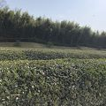 写真:茶畑 (岡山後楽園)