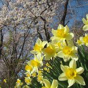 4月20日前後、桜がきれい