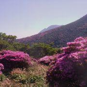 ミヤマキリシマの咲く時期は特に美しい