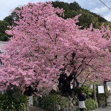 河津桜はこの一本から 枝ぶりが見事