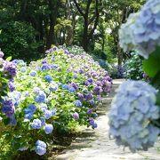 紫陽花本数日本一の下田あじさい祭