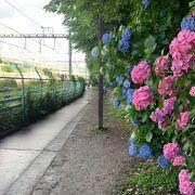 6月は飛鳥山公園の線路脇の紫陽花が綺麗です!