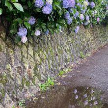 飛鳥山公園・線路脇の紫陽花が綺麗です!