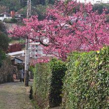 桜が咲く石畳