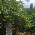 写真:仁和寺 御室桜