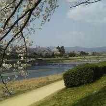 鴨川を散歩しながら桜(花見)