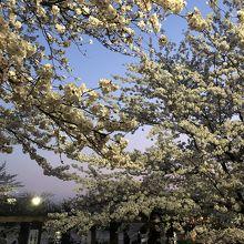 勝海舟夫妻が眠り、桜の美しい場所