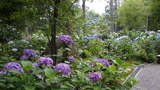 三千院 紫陽花苑
