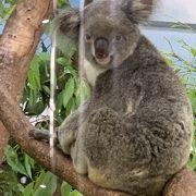 コアラを見た後シャトルバスで上まで行って最後にパンダ