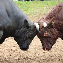 越後山古志の闘牛大会 牛の角突き