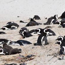 ペンギンの大群