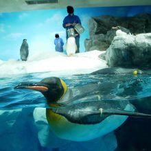 キングペンギンの眼って、白眼の部分も暗い色なのね。