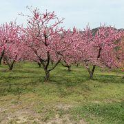 4月中旬から5月上旬まで咲き競う花ももは期待を裏切らない