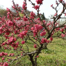 世界中から集めた40品種・約300本の花ももがあります。