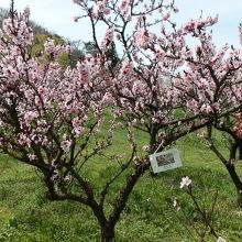 花ももの品種は「筑波2号」、開花時期は4月中旬~4月下旬です