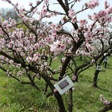 花ももの品種は「寿星桃(桃:一重)」です。