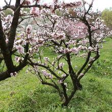 花ももの品種は「寿星桃(桃:一重)」に似ています。